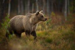 熊属类arctos 棕熊是最大的掠食性动物在欧洲 免版税图库摄影