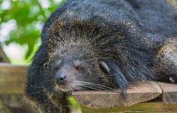 熊属类thibetanus 库存图片
