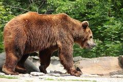 熊属类arctos 库存图片