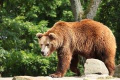 熊属类arctos 免版税库存图片