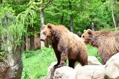 熊岩石 在动物园布尔诺里 免版税库存照片
