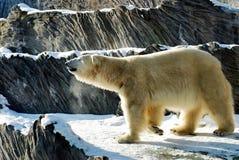 熊布拉格白色动物园 免版税图库摄影