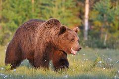 熊微笑 免版税库存照片