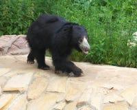 熊怠惰 免版税库存照片