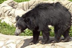 熊怠惰 免版税库存图片