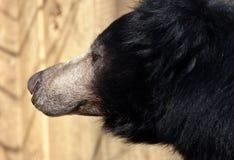 熊怠惰 库存照片