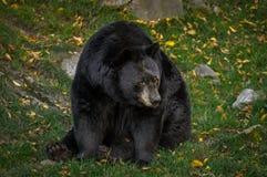 黑熊想知道的what& x27; 继续的s 免版税库存图片