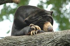 熊懒惰星期日 库存照片