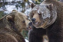 熊战斗 免版税库存图片