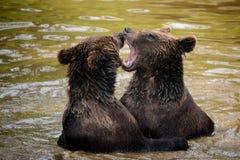 熊战斗 库存照片