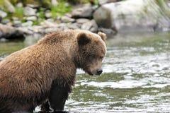 熊捕鱼北美灰熊其地点年轻人 免版税库存照片