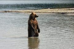 熊捕鱼 库存照片
