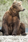 熊摆在 库存照片
