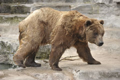 熊来的北美灰熊浇灌 免版税库存图片
