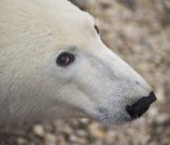 熊极性凝视 免版税库存照片