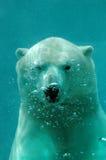 熊极性水中 免版税库存图片