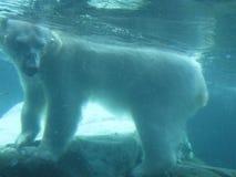 熊极性水中 免版税库存照片