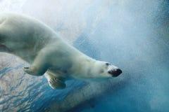 熊极性水中 库存图片