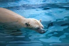 熊极性水 库存照片
