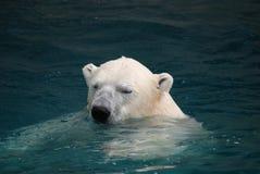 熊极性游泳 库存图片