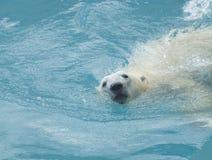 熊极性游泳 免版税图库摄影