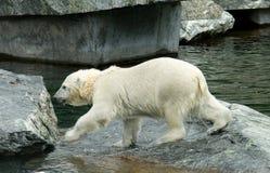 熊极性的一点 库存图片