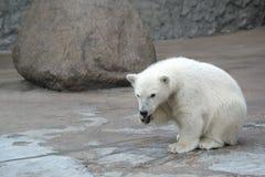 熊极性的一点 免版税库存图片