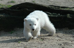 熊极性的knut 图库摄影