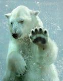 熊极性水中 库存照片