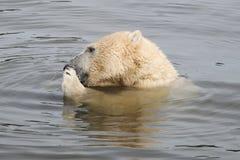 熊极性水 免版税库存照片