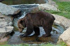 熊柏林棕色动物园 免版税库存图片