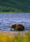 熊棕色三文鱼 库存照片