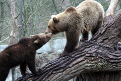 熊棕色亲吻的公园skansen斯德哥尔摩 库存图片