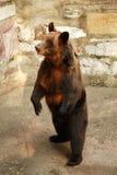 熊棕色俄语 库存图片