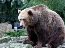 熊棕色加拿大 免版税库存图片