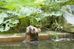 熊棕色北美灰熊例证查出的白色 免版税库存图片