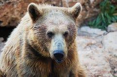 熊棕色叙利亚 免版税库存照片