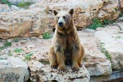 熊棕色叙利亚 免版税图库摄影