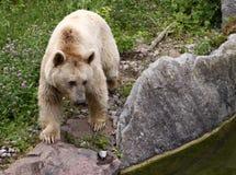 熊棕色叙利亚 免版税库存图片