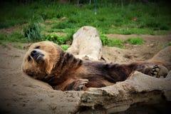 熊棕色困 库存图片