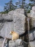 熊棕色少见白色 免版税库存照片