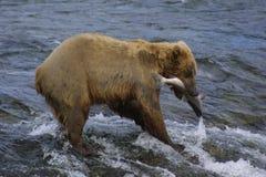 熊棕色年轻人 免版税库存图片