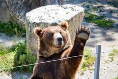 熊棕色招待爪子访客等待通知欢迎动物园 免版税库存照片