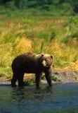 熊棕色捕鱼 库存图片