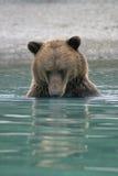 熊棕色捕鱼 图库摄影