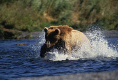 熊棕色捕鱼 免版税库存照片