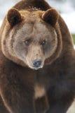 熊棕色格式水平的雪 免版税图库摄影
