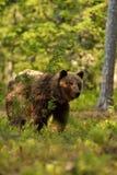 熊棕色森林 免版税库存照片