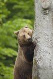 熊棕色森林 库存照片