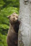 熊棕色森林 库存图片
